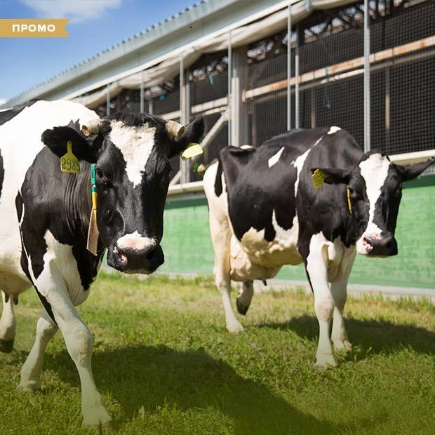 Как устроена молочная ферма — Спецпроекты на The Village