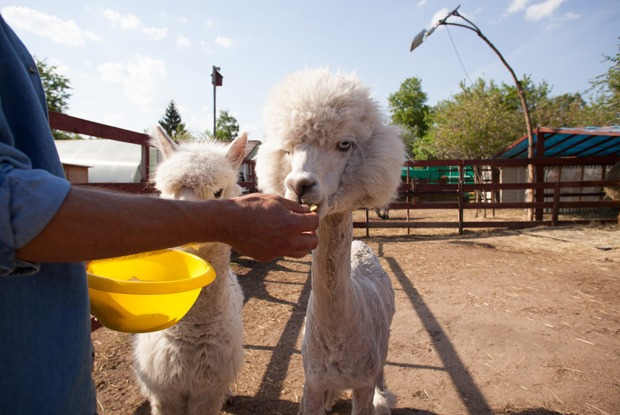 Трогательно: Где погладить енота, альпака и мини-лошадку — Гид The Village на The Village