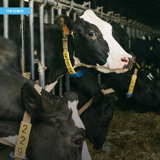 Молочные берега: Как коровам живется на ферме — Спецпроекты на The Village