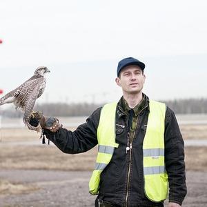 Подрезать крылья: Как работают орнитологи на аэродромах