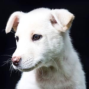 Можете ли вы отличить породистую собаку от дворняги?
