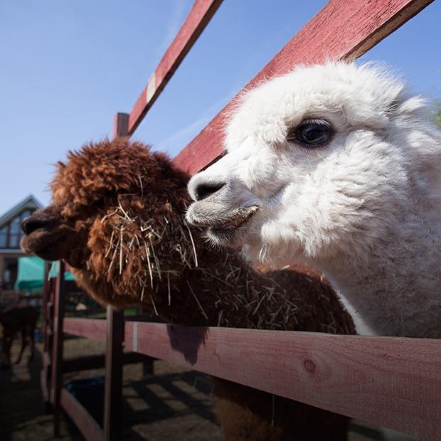 Кудряш наш: Как живут московские альпаки