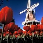Цветочный Совет Голландии раздает летние цветы в Москве