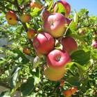 На Дмитровке возродят яблоневый сад