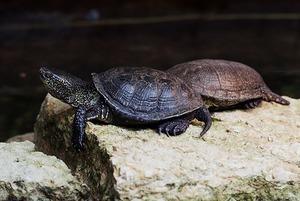 В Металлострое регулярно находят черепах. Откуда они в индустриальном поселке?