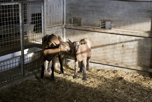 Как на Урале делают камамбер и валансе из молока французских коз