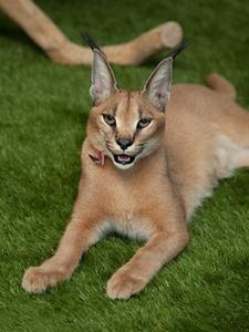 «Мурмулет»: Как заработать на котятах за полмиллиона рублей