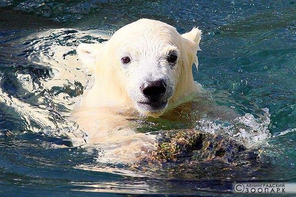 В Ленинградском зоопарке петербуржцам впервые показали белого медвежонка. Изображение № 3.