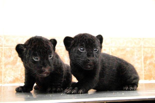 Фото дня: Детёныши ягуара в Ленинградском зоопарке. Изображение № 4.