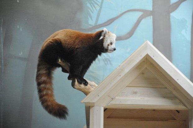 ВМосковском зоопарке теперь можно увидеть красную панду поимени Зейна. Изображение № 5.