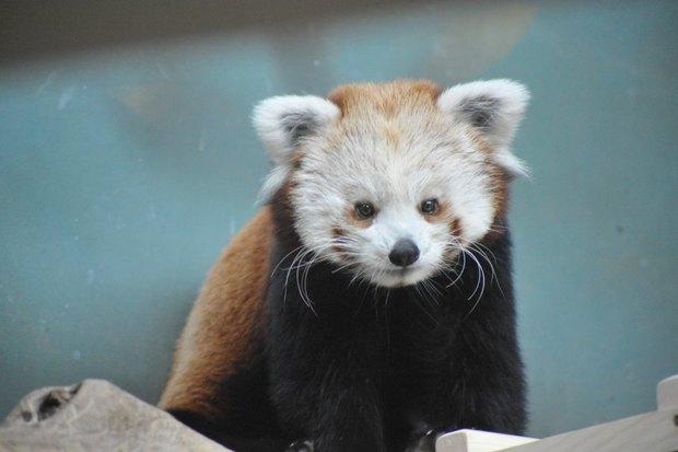 ВМосковском зоопарке теперь можно увидеть красную панду поимени Зейна. Изображение № 2.