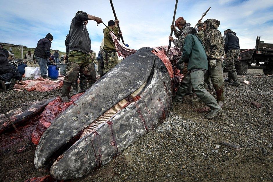 одной самых чукотка медведи едят кита фото области