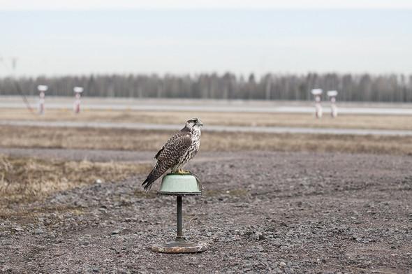 Подрезать крылья: Как работают орнитологи на аэродромах. Изображение № 32.