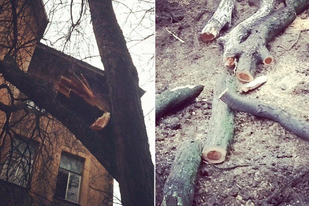 Личный опыт: Как спасти дерево под окном от вырубки. Изображение № 1.
