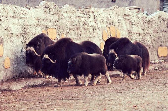 ВМосковском зоопарке теперь можно увидеть детёнышей овцебыков. Изображение № 1.