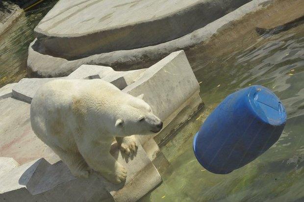 Купание медведей вмосковском зоопарке. Изображение № 2.