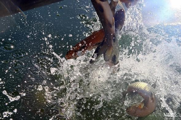 Изображение 18. В Голицынский пруд Парка Горького выпустили 400 кг рыбы.. Изображение № 2.