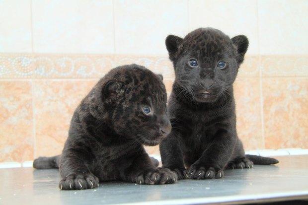 Фото дня: Детёныши ягуара в Ленинградском зоопарке. Изображение № 3.
