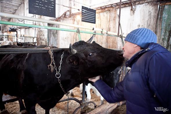 Корова Чернуха. Изображение № 12.