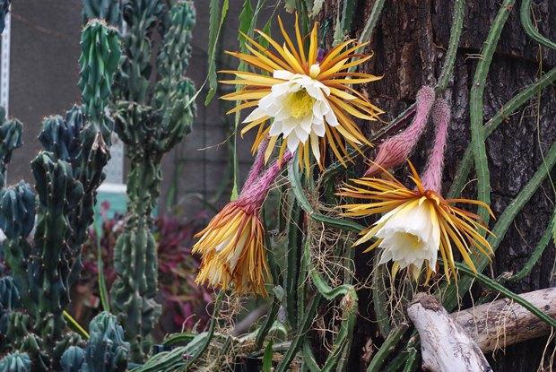 Ботанический сад будет работать дочасу ночи ради цветения 14бутонов «Царицы ночи». Изображение № 1.