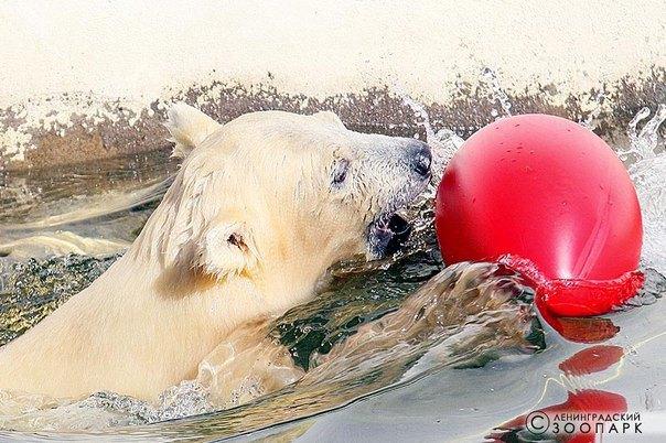 В Ленинградском зоопарке петербуржцам впервые показали белого медвежонка. Изображение № 4.