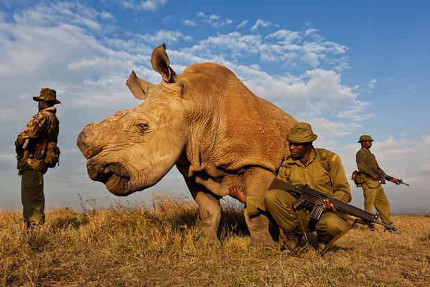 Брент Стиртон, Южная Африка, Getty Images для National Geographic. Одного из 8 оставшихся в мире белых носорогов охраняет специальная бригада. Изображение № 11.