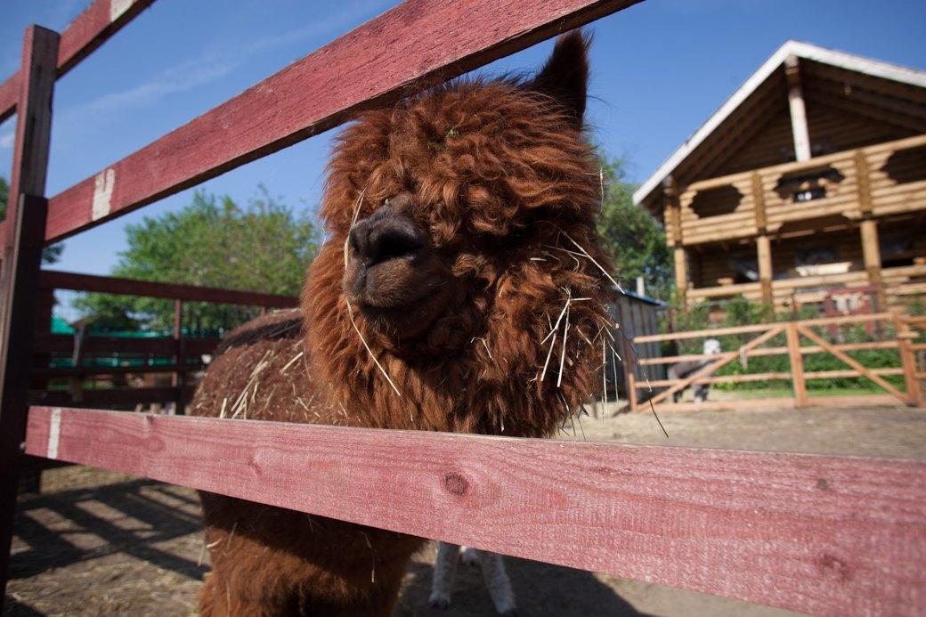 Кудряш наш: Как живут московские альпаки. Изображение № 2.