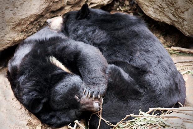 Медведи в Московском зоопарке уснули. Изображение № 1.