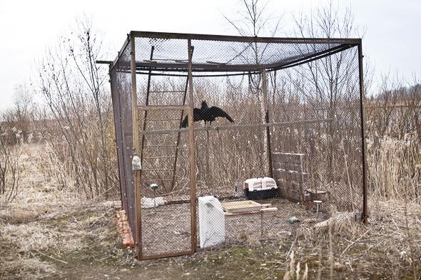 Еще один обитатель орнитологической базы в Пулкове — чёрный ворон.. Изображение № 26.