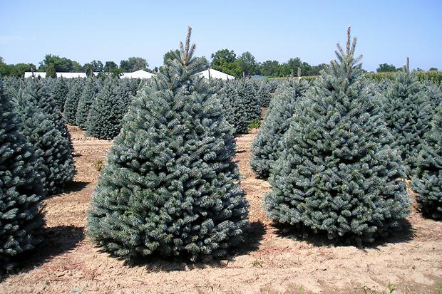 Picea pungens. Изображение № 2.