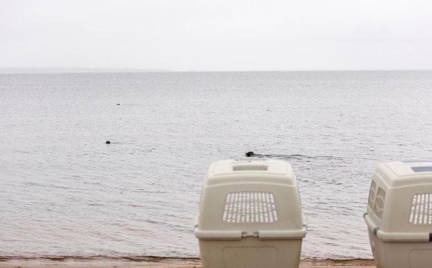 Две вылеченные нерпы возвращаются в Ладожское озеро. Изображение № 9.