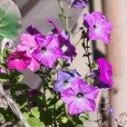 Где посадки: Что горожане выращивают на балконах иподоконниках. Изображение № 48.