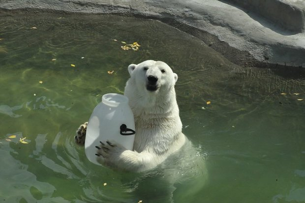 Купание медведей вмосковском зоопарке. Изображение № 1.