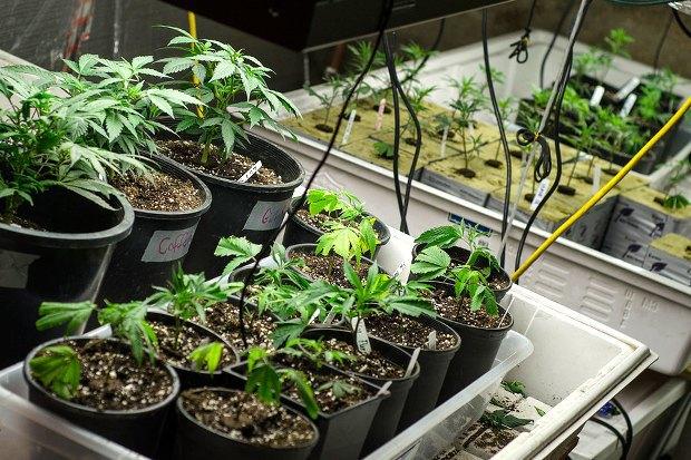 Как изменилась жизнь вКолорадо после легализации марихуаны . Изображение № 8.