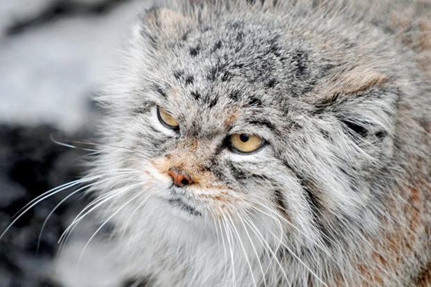 Талисманом Московского зоопарка стал манул. Изображение № 1.