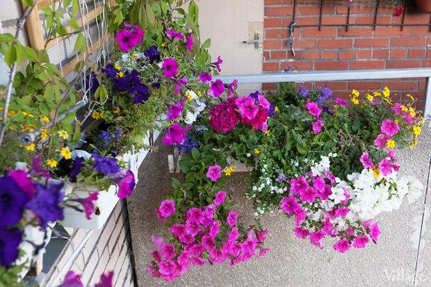 Где посадки: Что горожане выращивают на балконах иподоконниках. Изображение № 57.