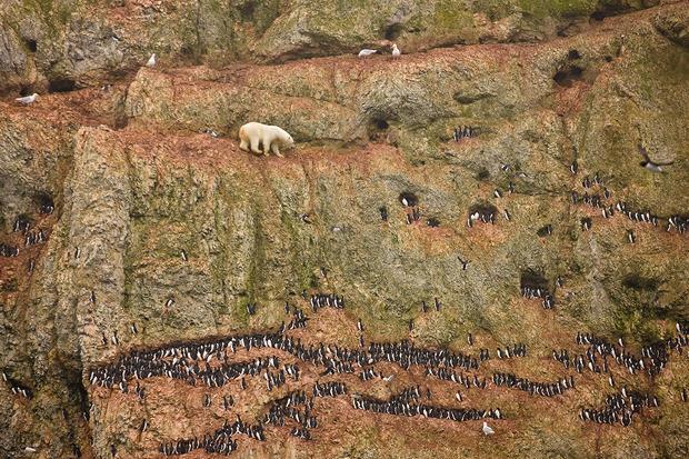 Дженни Росс, США. Полярный медведь поднимается в гору на Оранских островах. Изображение № 10.