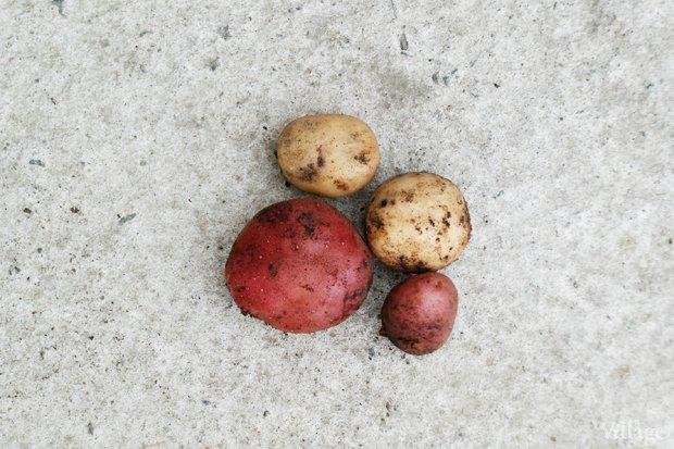 На районе: Как разбить огород и выращивать бесплатные овощи для соседей в Шушарах. Изображение № 9.