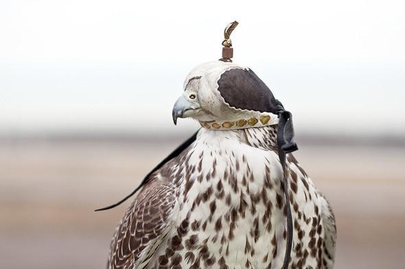 Клобучок — специальный колпак, который птицам надевают на голову во время перевозки, чтобы они чувствовали себя комфортно и не нервничали.. Изображение № 19.