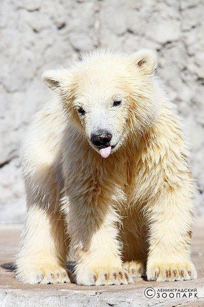В Ленинградском зоопарке петербуржцам впервые показали белого медвежонка. Изображение № 1.