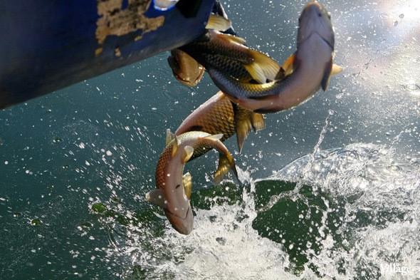Изображение 17. В Голицынский пруд Парка Горького выпустили 400 кг рыбы.. Изображение № 1.