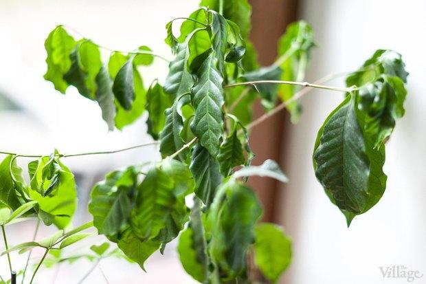 Где посадки: Что горожане выращивают на балконах иподоконниках. Изображение № 72.