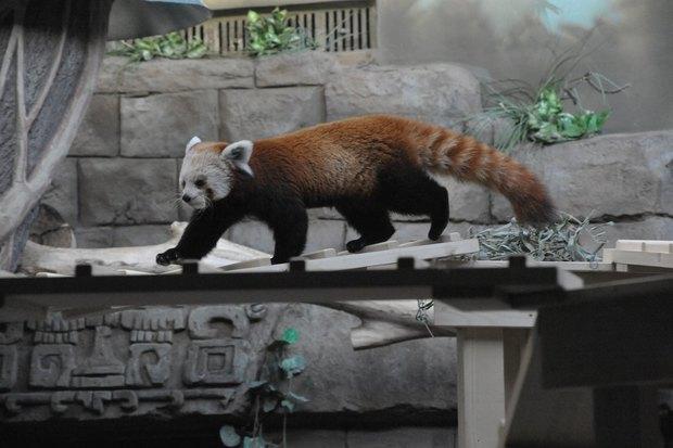 ВМосковском зоопарке теперь можно увидеть красную панду поимени Зейна. Изображение № 6.