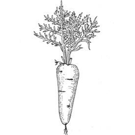 Сезон молодых овощей: Морковь. Изображение № 1.