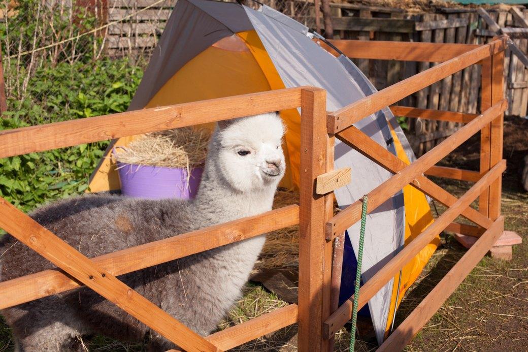 Кудряш наш: Как живут московские альпаки. Изображение № 18.