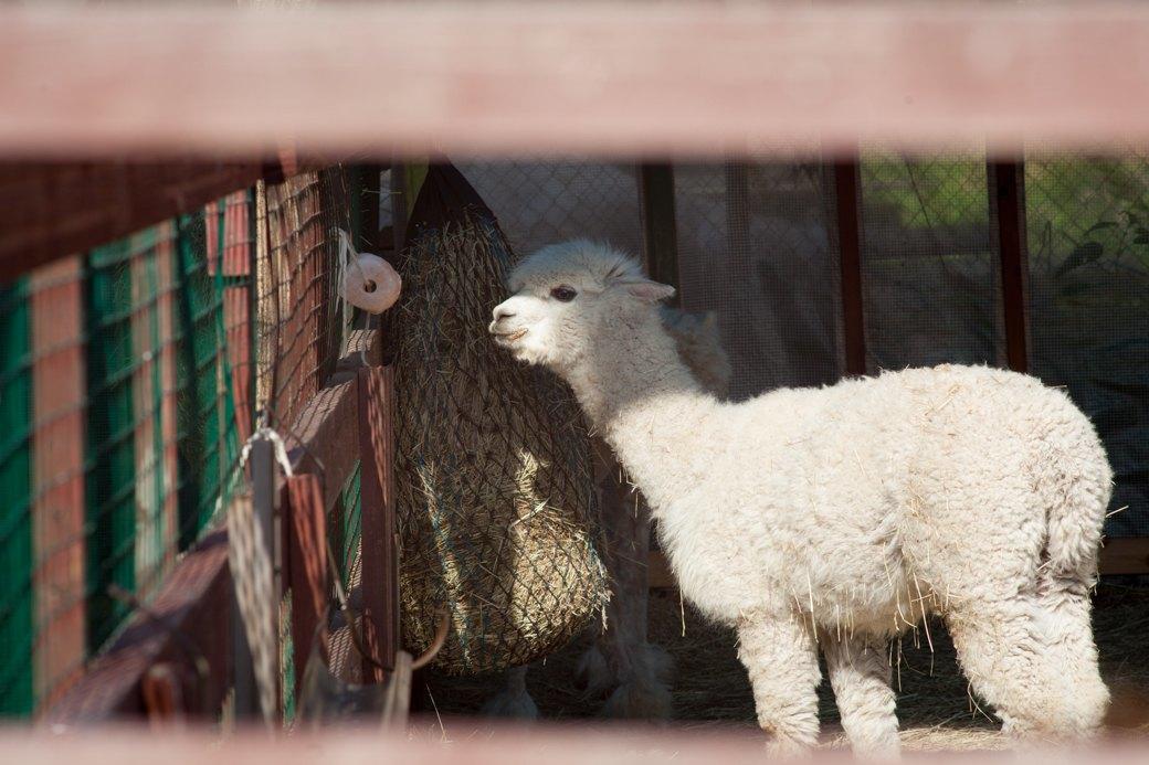 Кудряш наш: Как живут московские альпаки. Изображение № 8.