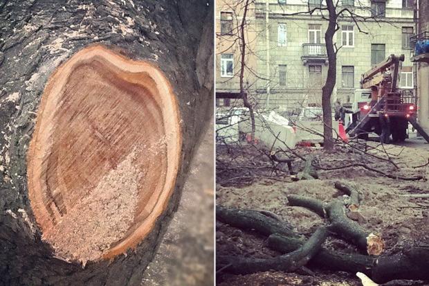 Личный опыт: Как спасти дерево под окном от вырубки. Изображение № 2.