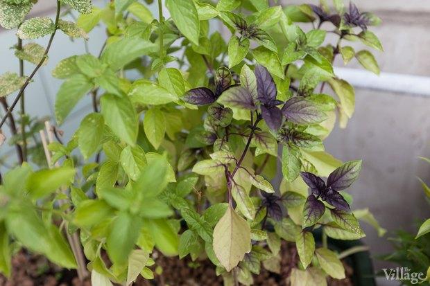 Где посадки: Что горожане выращивают на балконах иподоконниках. Изображение № 10.