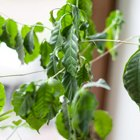 Где посадки: Что горожане выращивают на балконах иподоконниках. Изображение № 81.