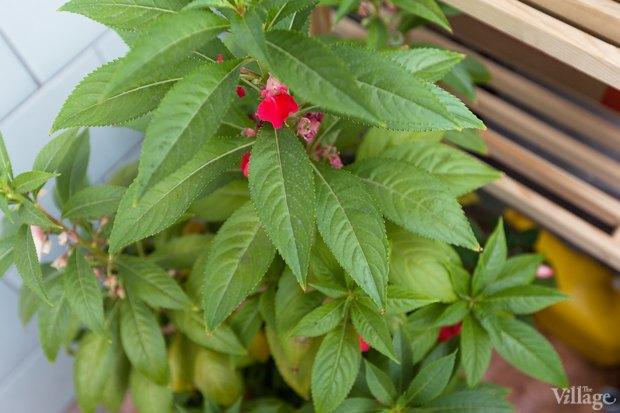 Где посадки: Что горожане выращивают на балконах иподоконниках. Изображение № 11.